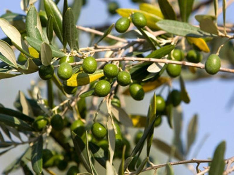 olivkovie rosi ispanii