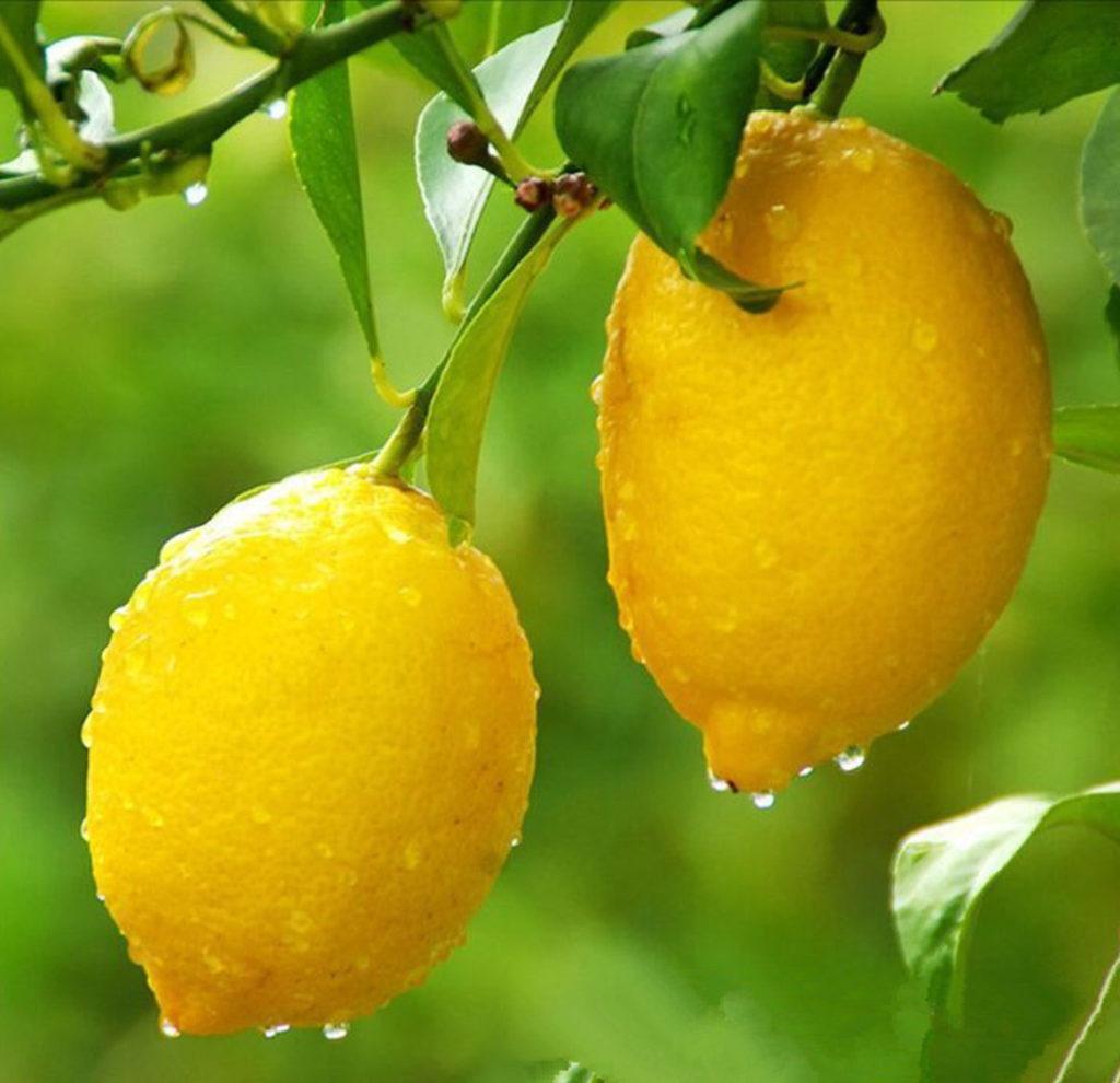 limon ot geportonii